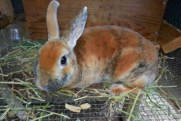 Розведення кроликів в домашніх умовах на присадибній ділянці