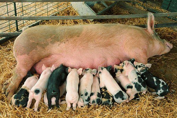 Розведення свиней в умовах особистого подвір`я