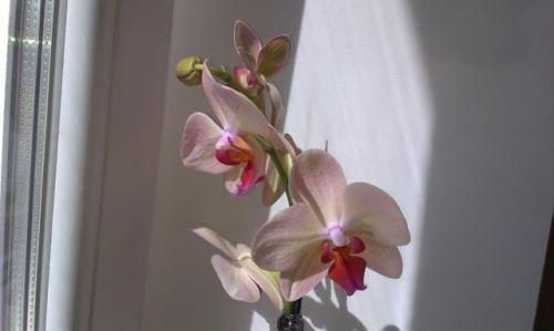 Реанімація орхідеї після обмороження і сонячного опіку