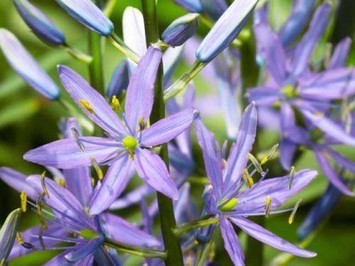 Камассия - блакитні квіти лілії
