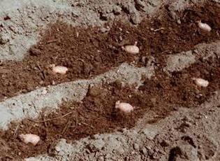 Регіональні особливості і час посадки картоплі