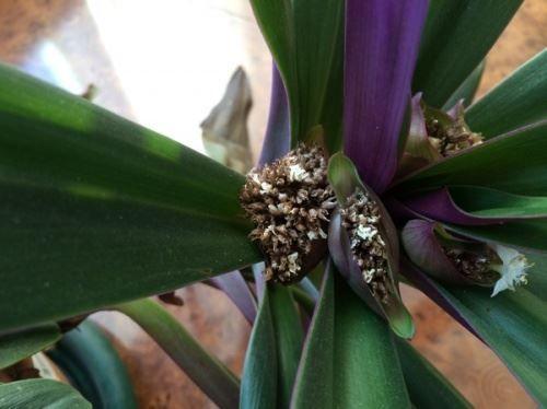 Рео - як доглядати за квіткою в домашніх умовах