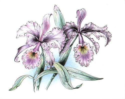 Малюнок орхідеї