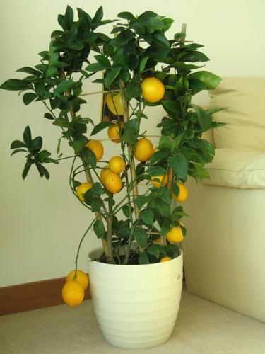 Родина лимона - індію