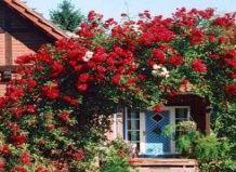Романтика в`юнких троянд