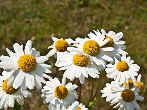 Ромашки - квіти лугові
