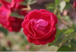 Розкішні троянди в кімнатних умовах: турбота і проблеми вирощування