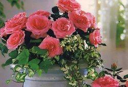 домашні троянди