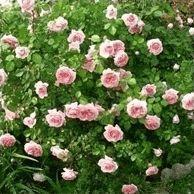 Роза Abraham Darby - опис, види, фото, відхід, зміст, пересадка, шкідники, розмноження - Роза на Ваш Сад
