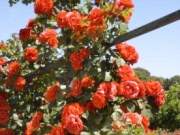 троянда чин-чин