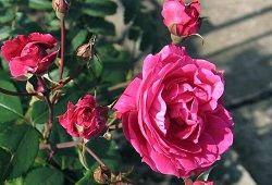 розмноження троянди живцями