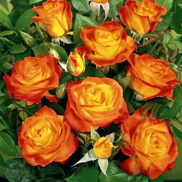 Троянди флорибунда: сорти і види