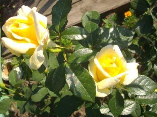 Троянди кущові і мій догляд за ними