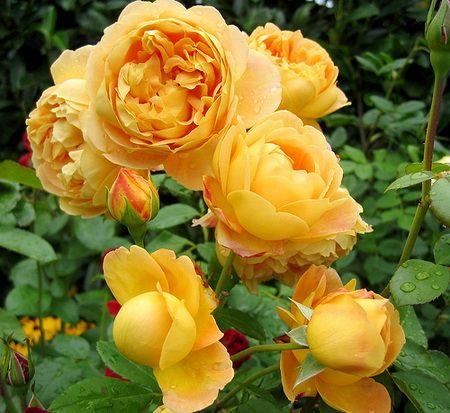 Троянди лілії рятують