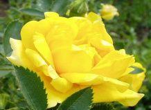 Троянди мичурина