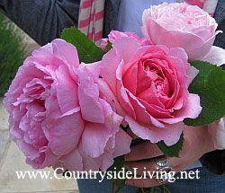Троянди садові, фото