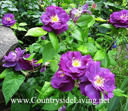 Троянди садові. Догляд навесні