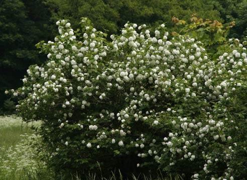 Роза, група старовинних садових троянд, R. spinosissim