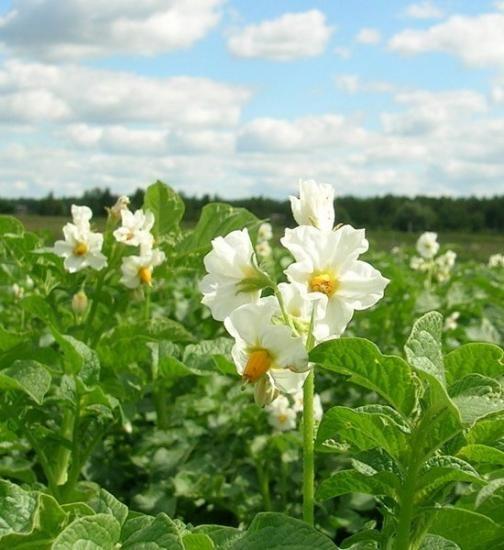 Найсприятливіші дні для посадки картоплі
