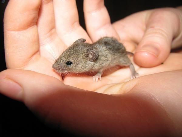 Найгуманніші способи позбавлення від мишей і щурів