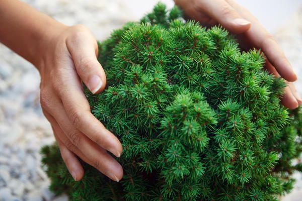 Найменші хвойні дерева для невеликих дачних ділянок