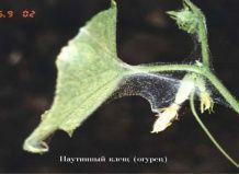 Найпоширеніші шкідники кімнатних рослин