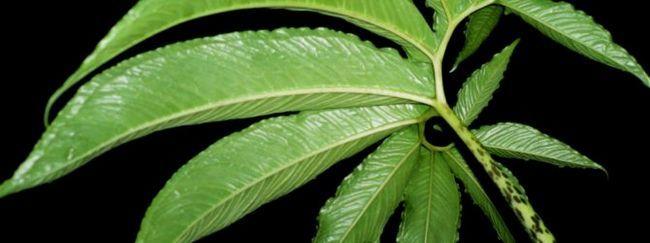Сауроматум: опис, розмноження, догляд, посадка, застосування в саду, фото, сорти і види