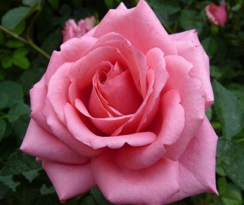Секрети пишного цвітіння троянди