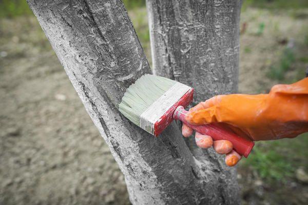 Секрети старого садівника про побілки дерев