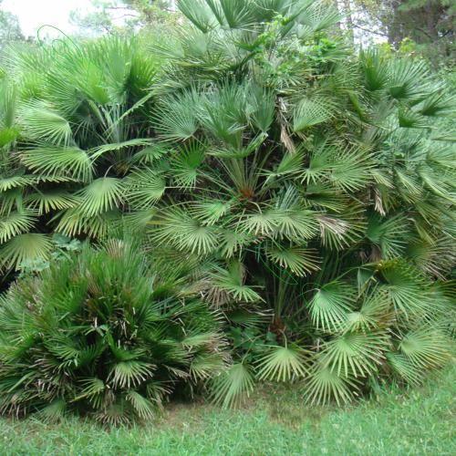 Секрети вирощування та догляду за пальмою хамеропс