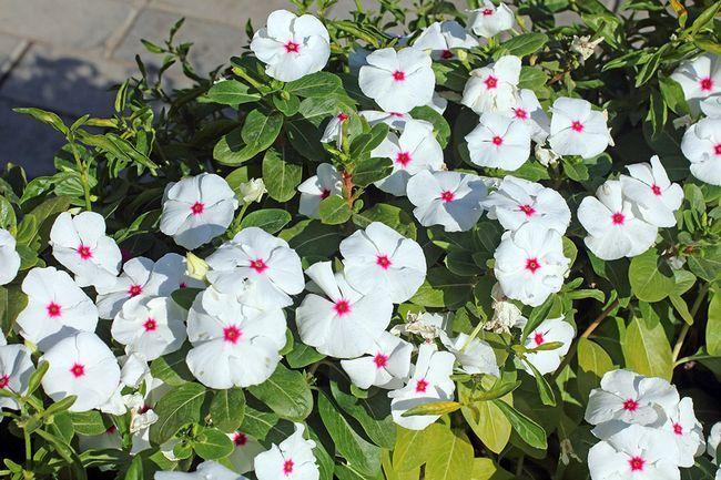 Секрети вирощування катарантуса в саду і квартирі