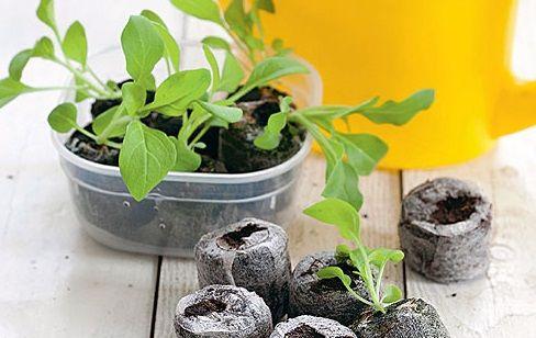 петунії з насіння