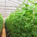 Шпинат: особливості вирощування з насіння догляд посів улюблені сорти