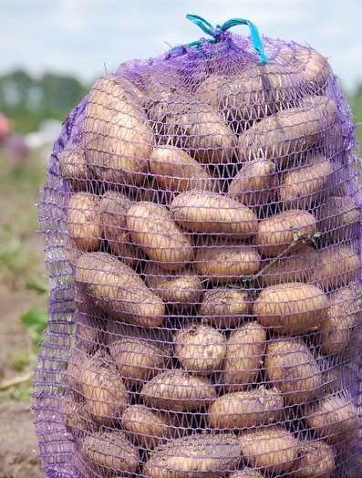 Насіннєву картоплю Колетт