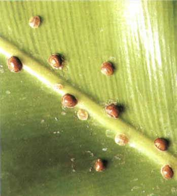 diaspididae
