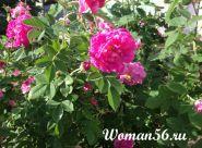 Шипшина - дика троянда