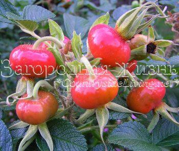Шипшина зморшкуватий, троянда зморшкувата (Rosa rugosa) дає найсолодші плоди (ягоди шипшини)