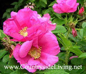 Шипшина зморшкуватий, троянда зморшкувата (Rosa rugosa) в моєму саду. цвітіння