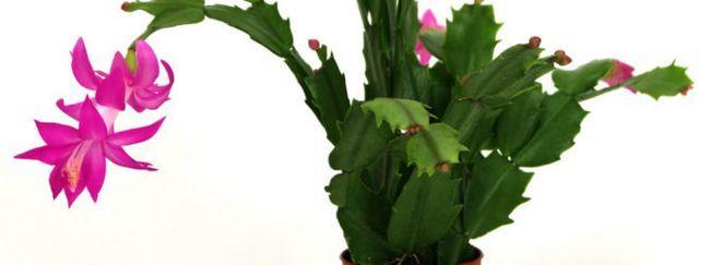 Шлюмбергера (декабрист: опис квітки, вирощування і догляд за шлюмбергера, розмноження