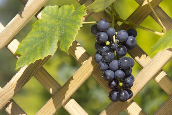 Шпалера для винограду