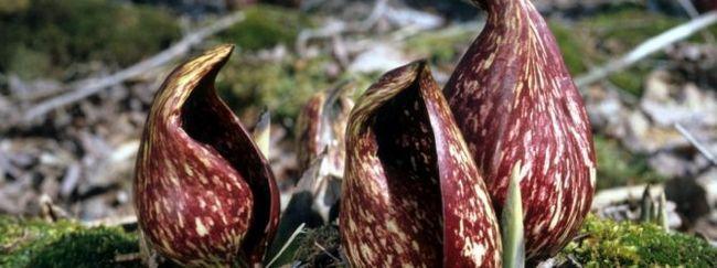 Сімплокарпус: опис, розмноження, догляд, посадка, застосування в саду, фото, сорти і види