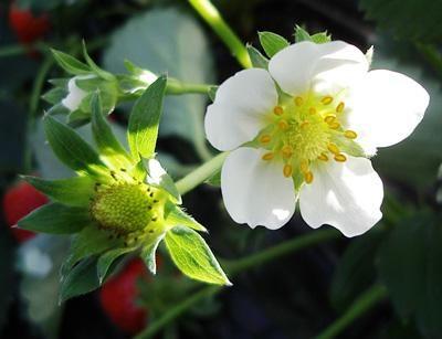 цвітіння