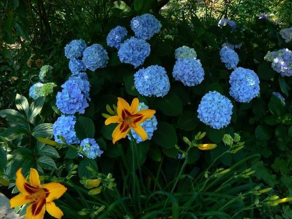Сині фарби червня в саду
