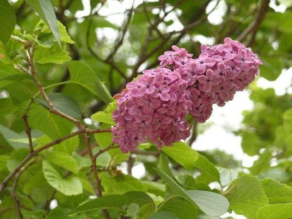 Бузок: види, сорти, особливості вирощування