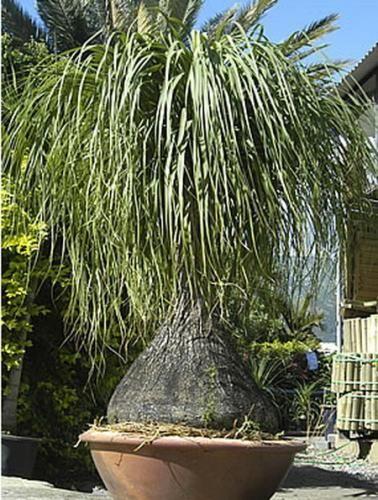 Слоняча нога - рослина для прикраси будь-якого приміщення