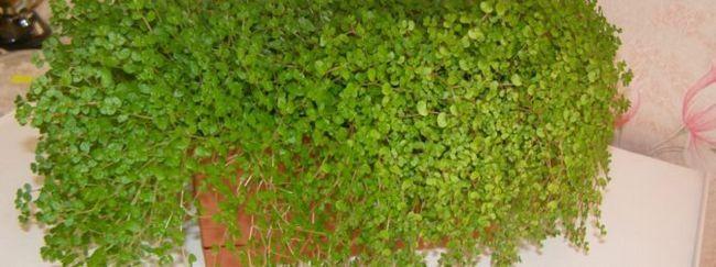 Солейролія: опис квітки, необхідний догляд за солейролія, розмноження