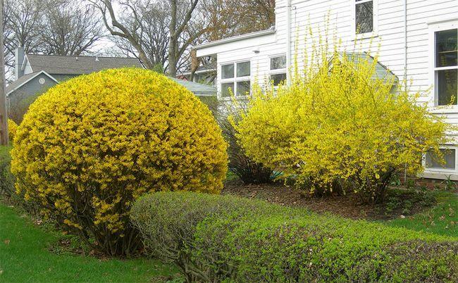 Форзиція все про рослину для садівника