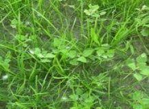 Бур`яни на газоні