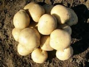 Сорт картоплі Єлизавета