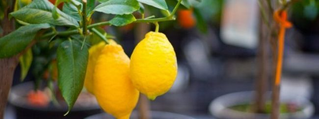 Сорти лимона: новогрузинський, мейєра, пандероза